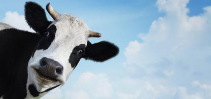 Svart och vit ko med blå himmel och vita moln i bakgrunden.