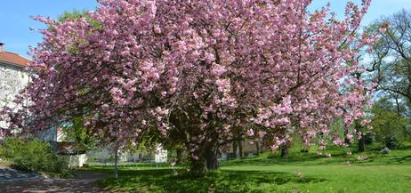 Ett stort körsbärsträd med rosa blommor, på Katrineberg.